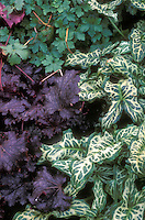 Foliage plants Arum italicum 'Tiny' with dark purple leafed perennial Heuchera Stormy Seas, and Geranium