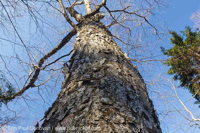 Old Yellow Birch (Betula alleghaniensis) during the spring months at Gibbs Brook Scenic Area in the White Mountains, New Hampshire USA.