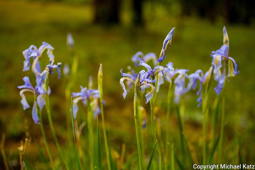 Wild Iris, Mono Pass Trail, Yosemite