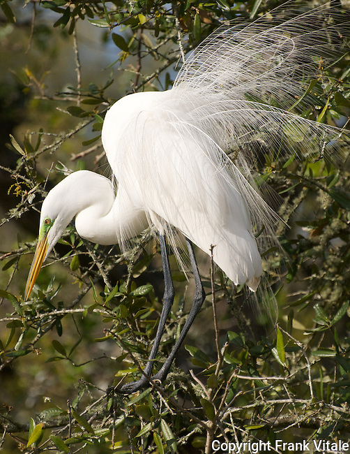 Great Egret in breeding plumage, Alligator Farm, St. Augustine, FL