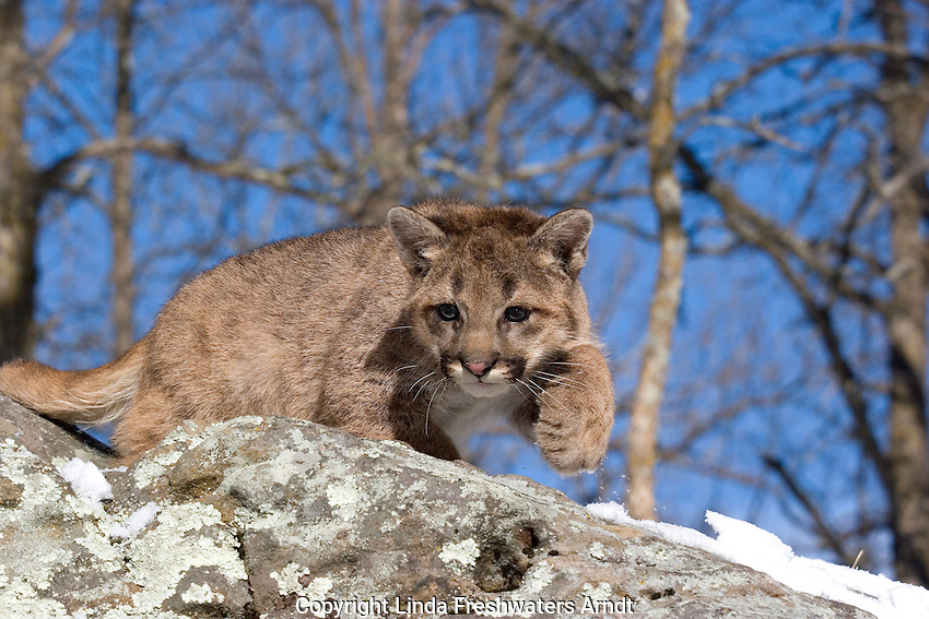Cougar cub (Puma concolor) walking on top of a hill of rocks.  Winter.  Minnesota.