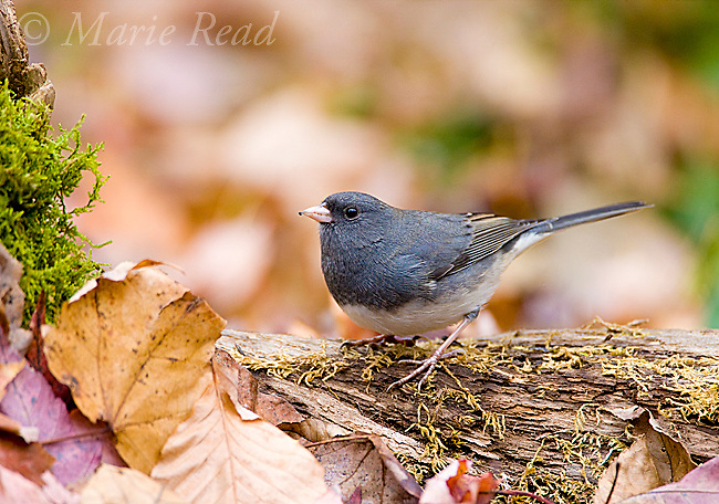 Dark-eyed Junco (Junco hyemalis), slate-colored race, male, New York, USA