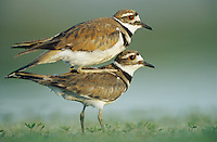 Killdeer, Charadrius vociferus,pair mating, Welder Wildlife Refuge, Sinton, Texas, USA