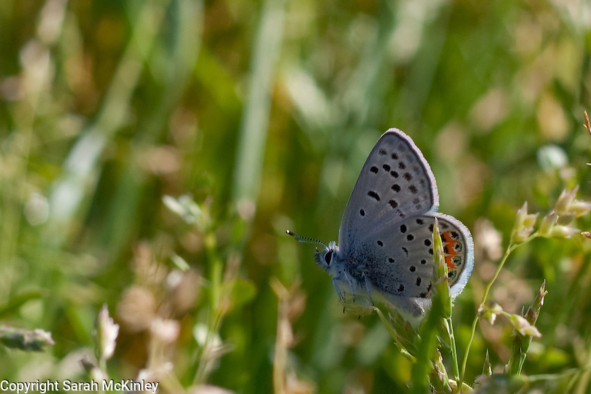 A Columbian Blue Butterfly, with a furry body and a fine fringe along the wings, photographed near Ukiah in Mendocino County in Northern California.