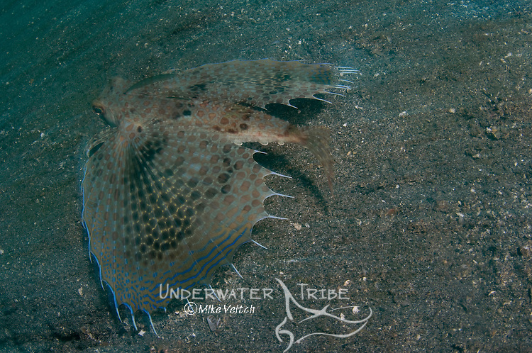 Flying or Helmut Gurnard, Dactyloptena orientalis, Lembeh Strait, Manado, North Sulawesi, Indonesia, Pacific Ocean
