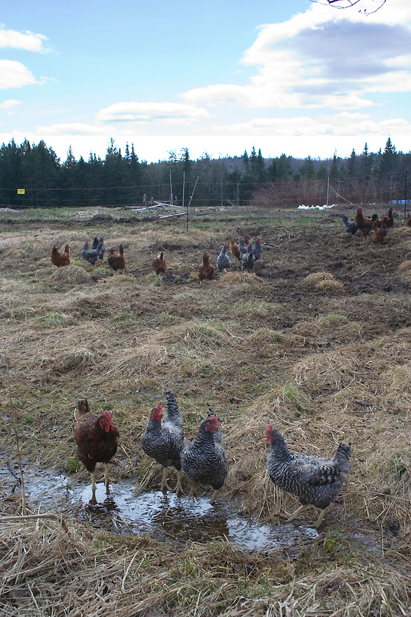 Group of chickens standing in pasture on farm