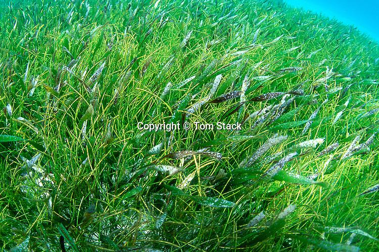 Turtle Grass, Thalassia testudinum