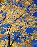 Cottonwood leaves shimmer in the afternoon autumn light. Eastern Sierra Nevada. Mono County, CA.