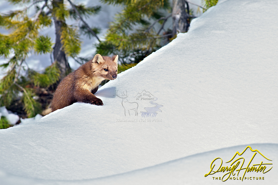Pine Martin,  Yellowstone National Park