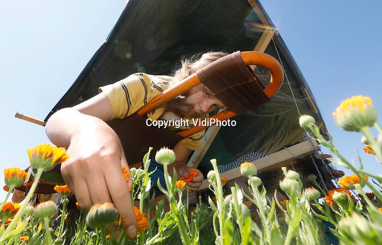 Foto: VidiPhoto<br /> <br /> HEMMEN – Op hun buik en in de schaduw van een dekzeil, 'zweven' enkele vakantiewerkers van ekoboerderij De Lingehof donderdag over een veld met goudsbloemen in het buurtschap Hemmen in de Betuwe. De bloemen (Calendula officinalis) worden liggend op een omgebouwd wiedbed geoogst, gedroogd op de boerderij en verkocht in onder andere natuurvoedingswinkels als thee. Initiatiefneemster Petra Derkzen is de enige in Nederland die goudsbloemen oogst voor consumptie. In Duitsland gebeurt dat op veel grotere schaal. Calendula is goed voor de spijsvertering en bovendien een plantaardig jodium. De stof wordt ook gebruikt in de cosmetica. Aan het eind van het oogstseizoen besluit Derkzen of het plukken van goudsbloemen economisch rendabel genoeg is om er mee door te gaan.
