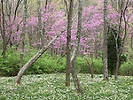 Early Spring Flowers In The Trees And On The Ground, Keehner Park, Southwestern Ohio, USA : Low Res File - 8X10 To 11X14 Or Smaller, Larger If Viewed From A Distance