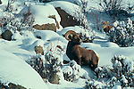 A Bighorn sheep (Ovis canadensis) casts a wary eye as a young sheep comes from behind on Bighorn .Mountain in Rocky Mountain National Park, Colorado.