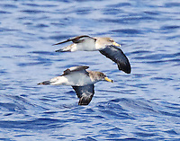 Cory's shearwater pair flying