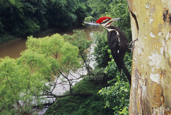 Pileated Woodpecker (Dryocopus pileatus), male at nesting cavity, Neuse River, Raleigh, Wake County, North Carolina, USA