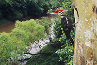 Pileated Woodpecker (Dryocopus pileatus), male at nesting cavity, Neuse River, Raleigh, Wake County, North Carolina, USA