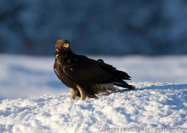 Kongeørn ----- Golden eagle