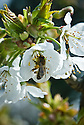 Bee on blossom of sweet cherry 'Bradbourne Black', late April.