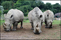 BNPS.co.uk (01202 558833)<br /> Pic: IanTurner/Longleat/BNPS<br /> <br /> The three female Southern White Rhinos at Longleat.<br /> <br /> A last-ditch bid is taking place involving a British safari park to save the world's rarest animal from extinction using a pioneering IVF treatment.<br /> <br /> There are only three northern white rhinos left in the world after the species has been virtually wiped out due to poaching over the last 50 years.<br /> <br /> The last remaining male, Sudan, is 43-years-old and reaching the end of his life. Both surviving females have medical problems which prevent them from conceiving naturally.<br /> <br /> As a result, team of experts have visited Longleat Safari Park in Wiltshire and harvested nine eggs from the zoo's three female southern white rhinos which will be fertilised with semen extracted from Sudan.