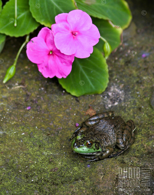 A bullfrog rests beneath the cover of a colorful pink Impatien flower next to a pond in the garden. Beauty and the Beast !!