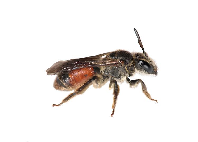 Red-girdled Mining Bee - Andrena labiata