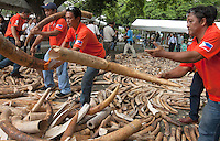 Philippines government workers arrange elephant tusks as five tonnes of confiscated ivory from the Philippines stockpile since 2009 is destroyed by excavator at the Philippines Government Protected Areas and Wildlife Bureau of the Department of Environment and Natural Resources, Quezon City, Manila, Philippines, 21 June 2013.