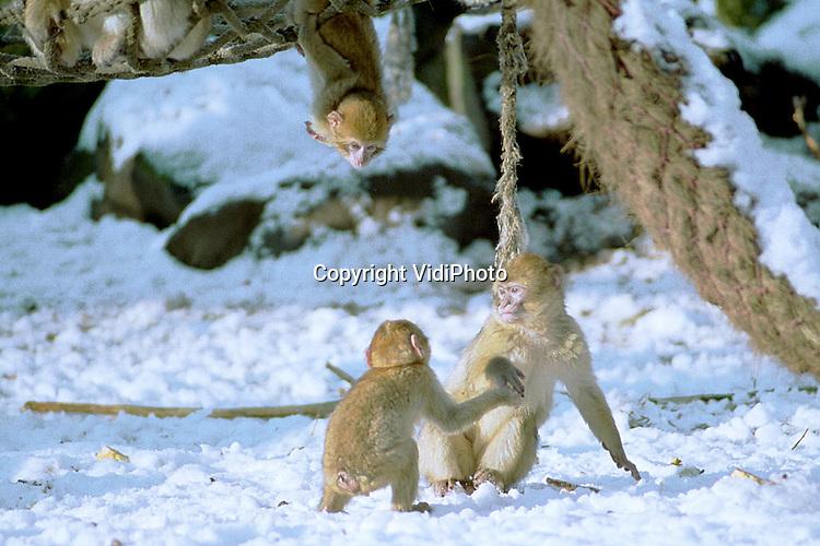 Foto: VidiPhoto..RHENEN - Berberapen of bibberapen, dat is de vraag. In Ouwehands Dierenpark in Rhenen zijn de berberapen gewoon buiten. Door hun dikke ondervacht kunnen ze in principe goed tegen de kou. Maar de sneeuw zorgt wel voor koude poten. Dus snel spelen en dan weer de boom in. Berberapen zijn de enige apen die in Europa ook in het wild leven.