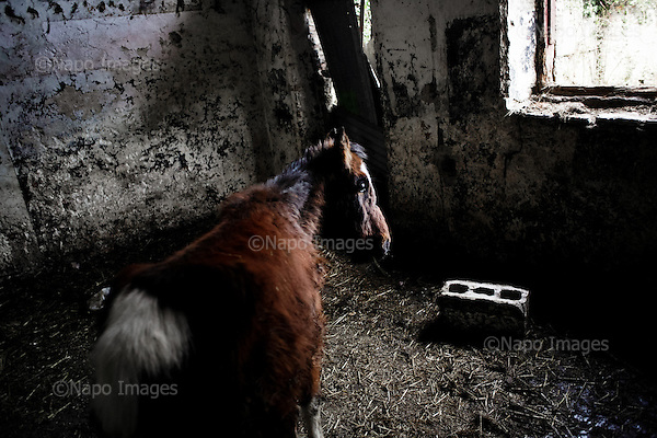 "Dublin, Ireland, January 10, 2011:.Horse being kept by their young owners at the abandoned Bell Camp College in northern Dublin. .Since the beginning of crisis, between 10 and 20 thousand horses have become homeless or went in the hands of the youths in urban areas. Lots of Irish people who used to buy horses for fun during the boom years of ""Celtic Tiger"", now are abandoning them faced with expenditure of 35 Euro a week to properly maintain a horse. This animal previously worth 2000 Euro now can be purchased for as little as 80 Euro. New owners keep their horses in city greens, city ruins, or their house gardens, in very bad conditions. Most do not get much food, many are starving, dying, being mistreated..(Photo by Piotr Malecki)..Dublin, Irlandia, 10/01/2011:.Konie trzymane przez swoich mlodych wlascicieli w opuszczonej szkole Bell Camp College..Od poczatku kryzysu od 10 do 20 tysiecy koni zostalo wyrzuconych na ulice przez wlascicieli nie chcacych placic okolo 35 Euro/tydzien za ich utrzymanie. Wpadaja one czesto w rece mlodziezy z ubogich dzielnic miasta, ktora handluje nimi, bije, glodzi, trzyma w skrajnie trudnych warunkach, w przydomowych ogrodkach lub ruinach budynkow i szaleje na nich po miescie. Kon, ktory byl wart 2000 Euro teraz moze byc kupiony za 80. .Fot: Piotr Malecki."