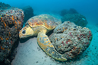 loggerhead sea turtle, Caretta caretta, resting, Moreton Bay Marine Park, Brisbane, Queensland, Australia, South Pacific Ocean