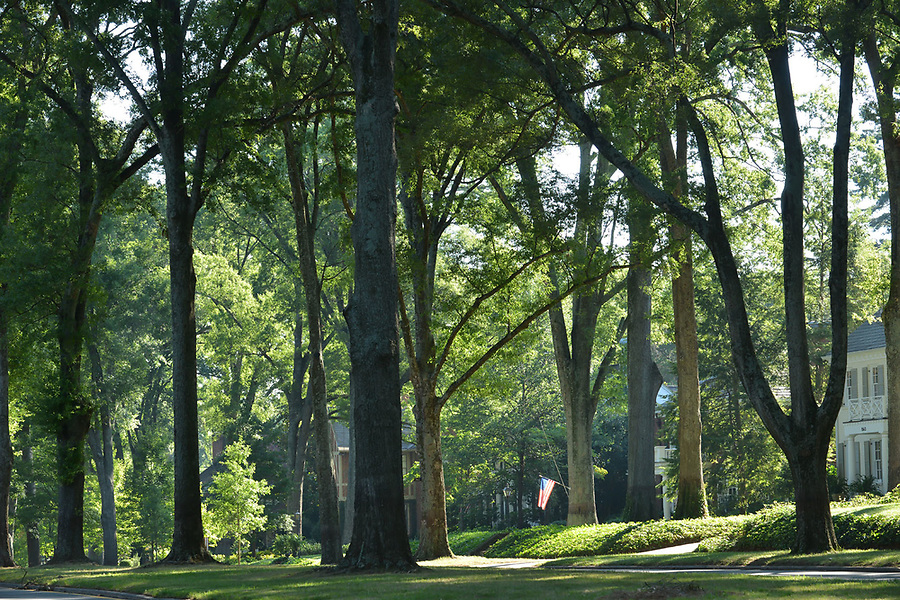 Queens Rd. loop in Charlotte, North Carolina is lined with majestic Willow Oaks .