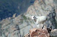 Rocky Mountain Goat Kid