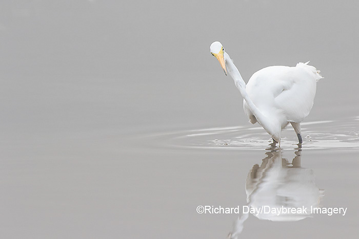 00688-02309 Great Egret (Ardea alba) in wetland in fog, Marion Co., IL