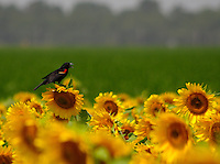 Red-winged blackbird in sunflowers, Stuttgart, Arkansas.