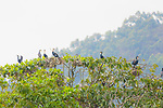 Reed Cormorants Nesting