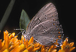 Acadian Hairstreak Butterflies
