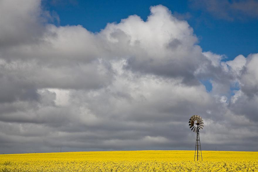 Canola Crops Eyre Peninsula South Australia