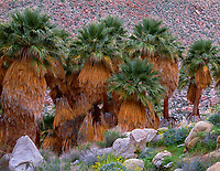 CADAB_124 - Grove of California fan palms (Washingtonia filifera) which is the only palm tree native to western North America, Palm Bowl Grove, Mountain Palm Springs, Anza-Borrego Desert State Park, California, USA --- (4x5 inch original, File size: 7717x6000, 133mb uncompressed)