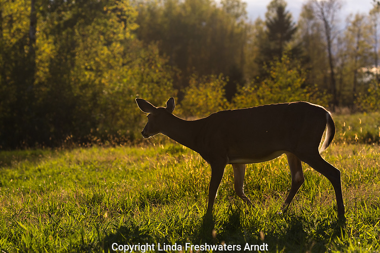 White-tailed doe backlit in a northern Wisconsin meadow.
