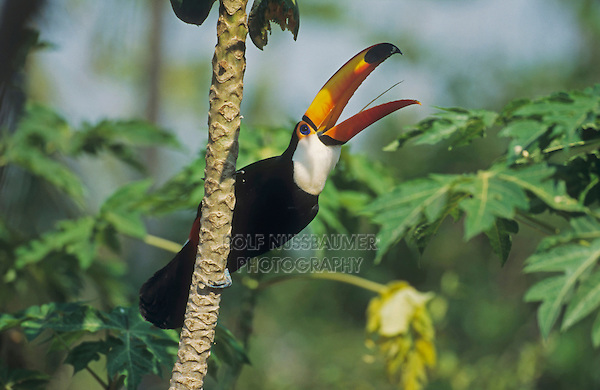 Toco Toucan (Ramphastos toco), adult calling, Pantanal, Brazil, South America
