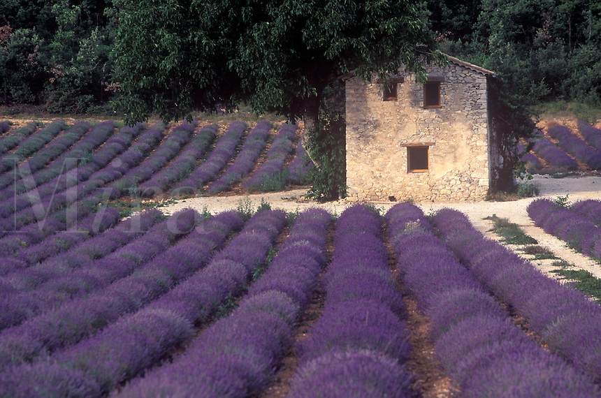 A Provencal  house in a lavender field in southern France.