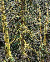 Moss-covered trees on the Ancient Groves Nature Trail in the Sole Duck Valley; Olympic National Park, WA