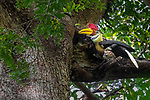 Indonesia, Sulawesi, knobbed hornbill (Rhyticeros cassidix), also known as Sulawesi wrinkled hornbill