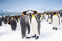 king penguin, Aptenodytes patagonicus, Salisbury Plain, South Georgia, South Atlantic Ocean