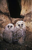Barred Owl (Strix varia), young in nesting cavity, Raleigh, Wake County, North Carolina, USA