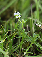ANNUAL PEARLWORT Sagina apetala (Caryophyllaceae) Height to 8cm. Straggling, wiry annual of short, dry grassland and bare ground, usually on sandy soils. No basal rosette. FLOWERS have minute greenish petals and 4 longer greenish sepals that spread in fruit; borne on long stems (Apr-Aug). FRUITS are capsules. LEAVES are narrow, bristle-tipped, with hairy margins. STATUS-Widespread and common.