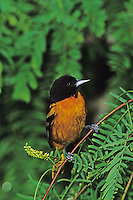 Baltimore Oriole, Icterus galbula,male dark color variation, South Padre Island, Texas, USA, May 2005