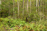 Gum Tree (Eucalyptus sp) forest and ferns, Currowan State Forest, New South Wales, Australia