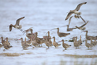 Bar-tailed Godwits (Limosa lapponica) of the subspecies menzbieri in the Yellow Sea. Geum Estuary, South Korea. October.