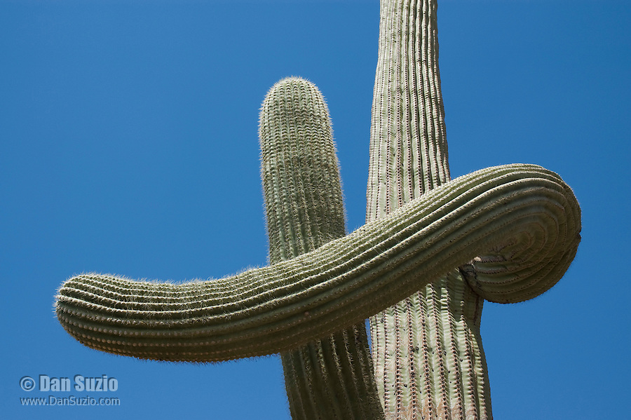 Saguaro, Carnegiea gigantea, Organ Pipe Cactus National Monument, Arizona.