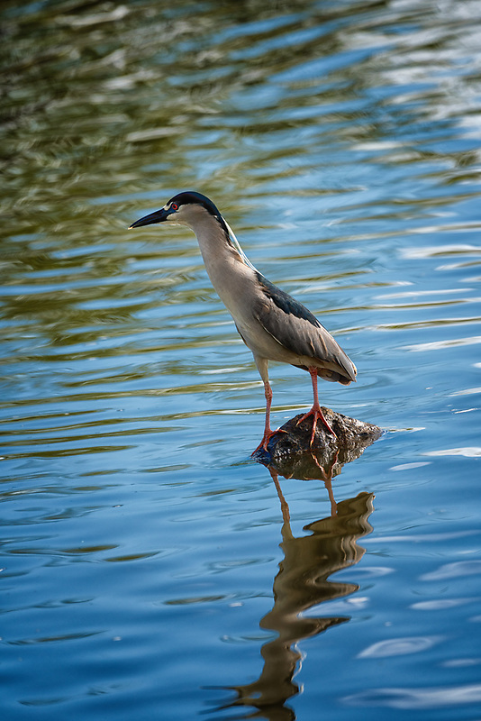 Black Crown Night Heron. Kealia Pond National Wildlife Refuge. Maui, Hawaii