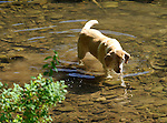 Yellow lab  in Loyalsock Creek near Barbours, PA in June....................................................